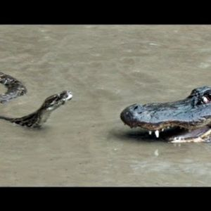 Python vs Alligator