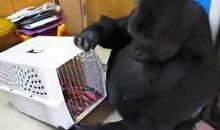 Gorilla bartkozik