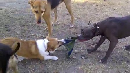 Corgi vs pitbull