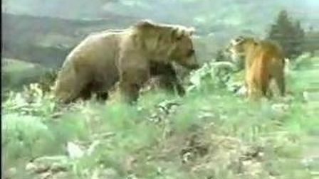 Grizzly vs puma